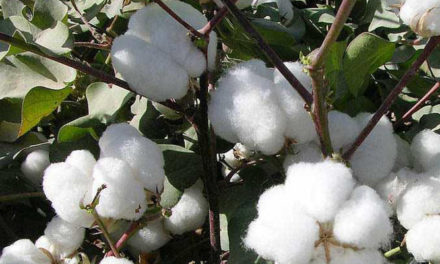 CAI lowers 2018-19 cotton crop estimates