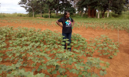 Malawi's seed cotton production reducing