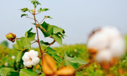 MSP on Karif cotton of 2019-20 season increased